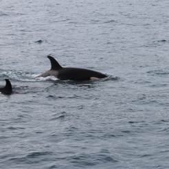 Baby and Mama Orca Whale